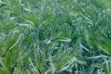 Sea grass, underwater image