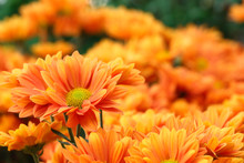 Orange Flowers With Orange Background