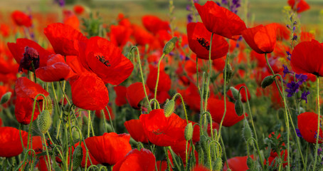 FototapetaField of poppies
