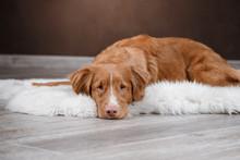 Dog Nova Scotia Duck Tolling Retriever, Portrait Dog On A Studio Color Background