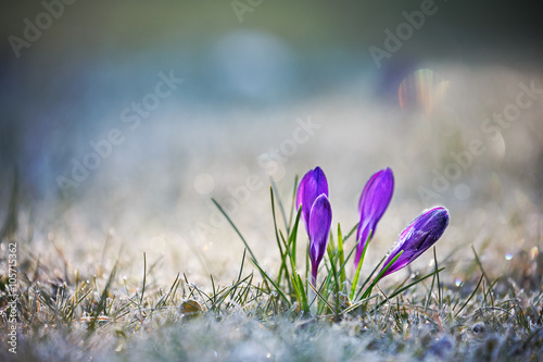 Foto op Canvas Krokussen Crocus Flowers with Hoar Frost