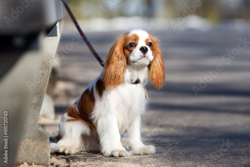 cavalier king charles spaniel puppy waiting outdoors Wallpaper Mural