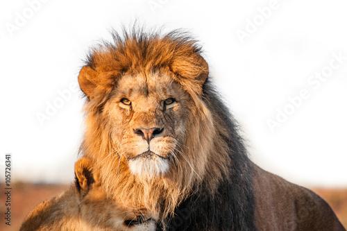 einzelne bedruckte Lamellen - Two lions togenther on the savannah (von Polarpx)