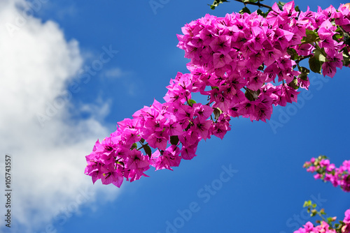 Foto Branch of beautiful bougainvillea flowers