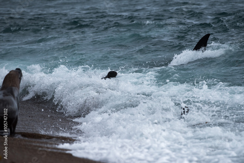 Orca attack a seal on the beach #105747302