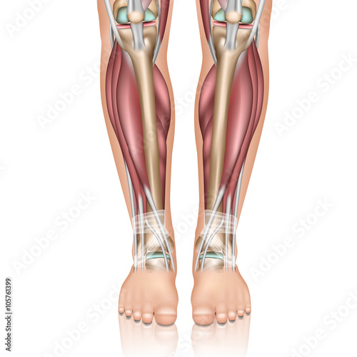 Lower leg anatomy , isolated on white background 3d look - Buy this ...