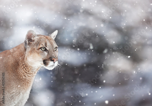 Spoed Fotobehang Puma Portrait of a cougar in the snow, Winter scene in the woods, wi