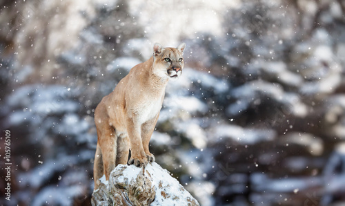 Poster Puma Portrait of a cougar in the snow, Winter scene in the woods, wi