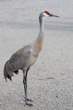 Sandhill Crane Standing