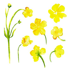 Watercolor Yellow Flowers Isolated On White Background. Floral Design Elements, Hand Drawn Artistic Painting Illustration