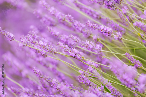 Poster Prune Purple violet color lavender flower field closeup background. Selective focus used.