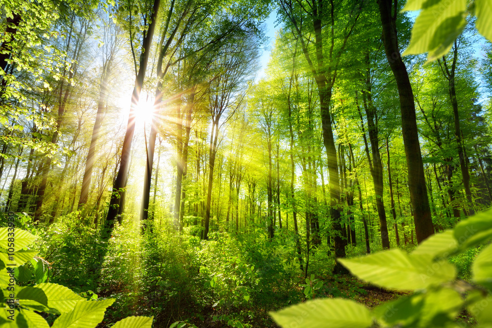 Photo  Sonnenbeschienene Laubbäume im Wald