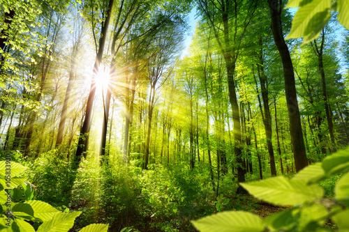 Foto  Sonnenbeschienene Laubbäume im Wald
