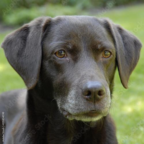Door stickers Dog bruine labrador kijkt lief naar het baasje