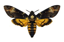 Death's-head Hawkmoth Isolated