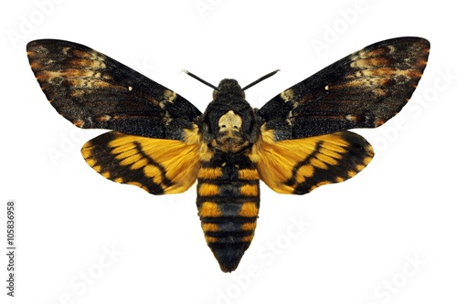 Photo Death's-head Hawkmoth isolated