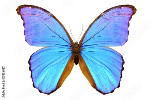 Fototapeta Blue morpho isolated