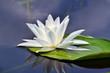 Beautiful waterlily in the lake