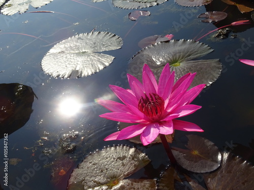 Poster de jardin Nénuphars Red lotuses bloom during season in the famous red lotus Lake in Udon Thani, Thailand.