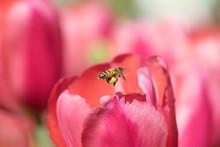 Honeybee With Pollen Basket Flying To Red Tulip Flower