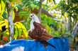 Brahminy kite (Haliastur indus) sits on a fence of a regular house in Alleppey (Kerala). Having these kites as a pet is usual there