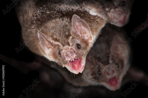 Common vampire bats (Desmodus rotundus)