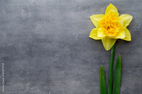 Fotobehang Narcis Yellow daffodils on a grey background. Easter greeting card.