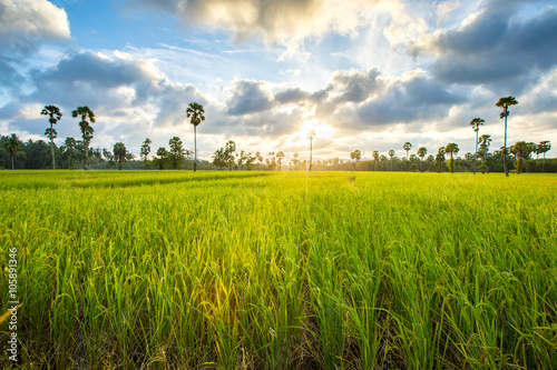 Foto op Aluminium Purper paddy rice in field, Thailand, Before sunset background