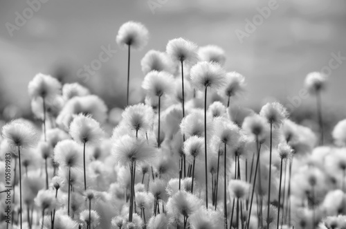 Poster Taupe Spring landscape with blooming cotton grass in black and white