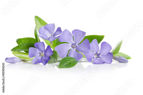 Fotomural Blue Periwinkle flowers on a white background