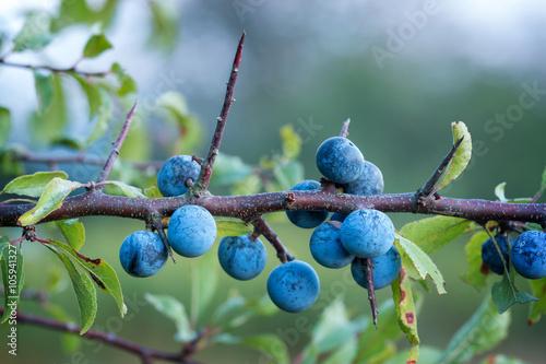 Valokuva  Sloe bush with many fruits