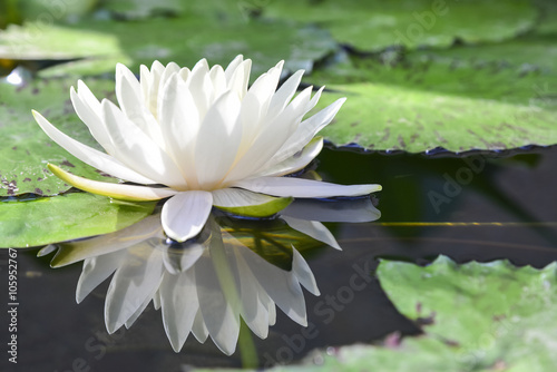Foto op Canvas Lotusbloem the white lotus or water lilies reflective with the water like the mirror in the pond