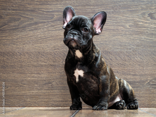 Tuinposter Franse bulldog French bulldog puppy. Puppy black. The dog sits at the wooden wall. Thoroughbred elite puppy
