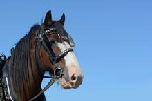 Portrait Of Handsome Clydesdale Gelding In Harness