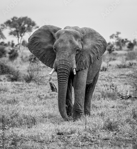 Foto op Aluminium Olifant An Elephant walking towards the camera in black and white