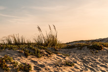 Sand Dunes At Coronado Beach In San Diego, California At Dusk With Beach Grass And Flowering Ice Plants.