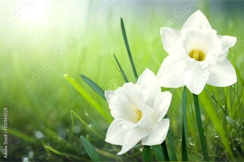 Photo sur Aluminium Narcisse Flower.