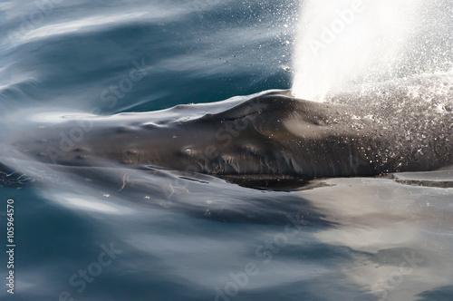 Valokuva  Humpback Whale Blow Hole - Greenland