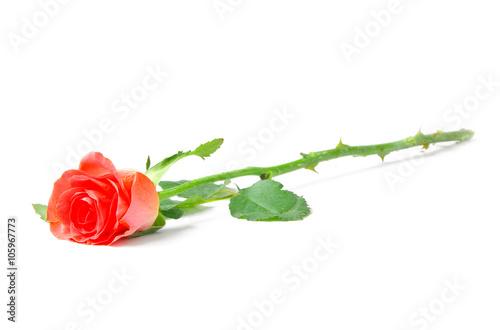 red rose isolated on white background © Pakhnyushchyy