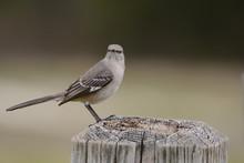 Mockingbird Perched On Post Looking Forward Landscape