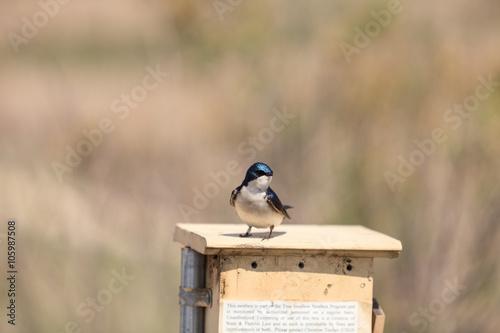 Fotografie, Obraz  Blue Tree swallow bird, Tachycineta bicolor, sits on a nesting box in San Joaqui
