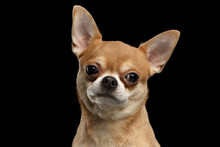 Closeup Portrait Of Chihuahua Dog Looking In Camera Isolated  Black