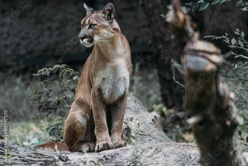 Beautiful portrait of a Cougar
