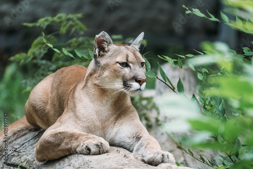 In de dag Puma Beautiful portrait of a Cougar