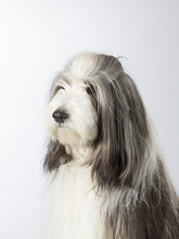 Bearded Collie Portrait. Image...