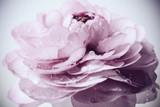 pastelowy różowy jaskier - 106025795