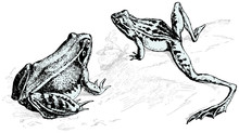 Engraving Illustrations Of Frogs
