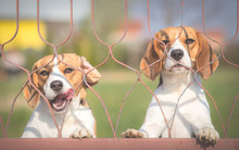 Two Beagle Dogs Behind Fence