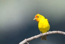 Western Tanager Perching On A ...