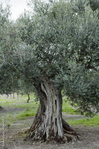 Printed kitchen splashbacks Olive tree olijfboom